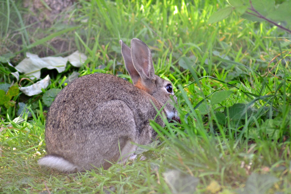 """Notícia sobre coelhos-bravos """"geneticamente modificados"""" resistentes à DHV é falsa"""